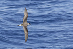 Black-capped Petrel (Pterodroma hasitata) in late August.