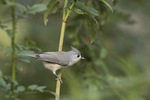Adult Tufted Titmouse (Baeolophus bicolor) in mid-October.