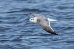 Adult Laughing Gull (Leucophaeus atricilla) in winter plumage in flight in mid-October.