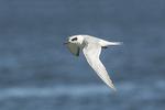 Forster's Tern (Sterna forsteri) in winter plumage in flight in mid-October.