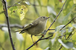 Ruby-crowned Kinglet (Regulus calendula) on fall migration in late October.