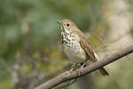 Hermit Thrush (Catharus guttatus) in late October on fall migration.