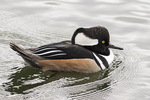 Adult male Hooded Merganser (Lophodytes cucullatus) in late October. The Reservoir, Central Park. New York.