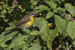 Yellow-breasted Chat (Icteria virens) foraging in Pokeweed in early November.