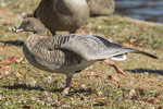 Pink-footed Goose (Anser brachyrhynchus) stretching its wing in early November.