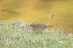 Nelson's Sparrow (Ammodramus nelsoni) in early November on fall migration.