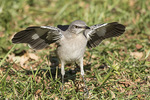 Northern Mockingbird (Mimus polygottos) flashing its wings in early November.