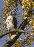 Immature Red-tailed Hawk (Buteo jamaicencis) perched in Ginkgo (Ginkgo biloba) in mid-November.