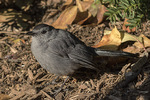 Gray Catbird (Dumetella carolinensis) in mid-November on fall migration.