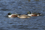 Northern Shovelers (Anas clypeata) in mid-November.
