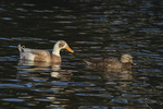 Male Indian Runner Duck (Anas platyrhynchos), a domestic breed of the Mallard, with a female Mallard in mid-November.