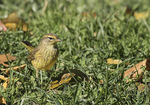 Palm Warbler (Setophaga palmarum) foraging on a lawn in mid-November on fall migration.