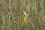 Eastern Meadowlark (Sturnella magna) in tall grass in mid-April.