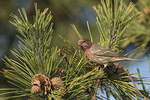 Male House Finch (Haemorhous mexicanus) in mid-November.
