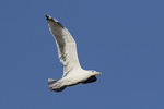 Adult Great Black-backed Gull (Larus marinus) in flight in mid-November.