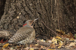 Male Northern Flicker (Colaptes auratus) foraging on the ground in mid-November.