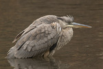 Immature Great Blue Heron (Ardea herodias) in mid-November.