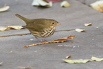Ovenbird (Seiurus aurocapilla) in late November.