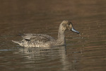 Immature male Northern Pintail (Anas acuta) in late November.