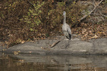 Immature Great Blue Heron (Ardea herodias) in late November.