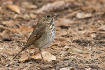 Hermit Thrush (Catharus guttatus) in late November.