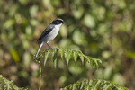Male Grey Bushchat (Saxicola ferreus) in mid-November.