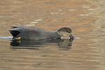 Male Gadwall (Mareca strepera) in early December.
