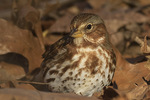 Fox Sparrow (Passerella iliaca) in early December.