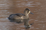 Female Ring-necked Duck (Aythya collaris) in early December.