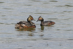 Eared Grebe (Podiceps nigricollis) family in mid-July.