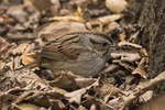 Swamp Sparrow (Melospiza georgiana) with sow bug in mid-December.