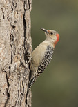 Female Red-bellied Woodpecker (Melanerpes carolinus) in mid-December.