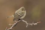 Western Flycatcher (Empidonax sp.), either Pacific-slope or Cordilleran Flycatcher, in early December.