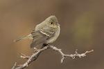 Empidonax Flycatcher (Empidonax sp.) in early December. Inwood Hill Park. New York, NY.