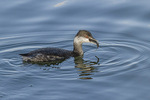 Horned Grebe (Podiceps auritus) with fish on fall migration in late October.