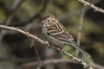 Field Sparrow (Spizella pusilla) in mid-October on fall migration.