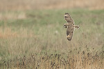 Short-eared Owl (Asio flammeus) in flight in mid-December.