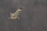 Short-eared Owl (Asio flammeus) in flight in late December.