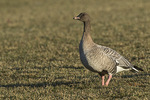 Pink-footed Goose (Anser brachyrhynchus) in late December.