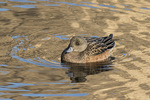 Female American Wigeon (Mareca americana) in late December.