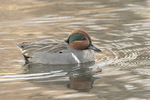 Male Green-winged Teal (Anas crecca) in late December.