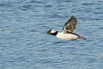 Male Bufflehead (Bucephala albeola) in flight in late March.