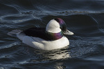 Male Bufflehead (Bucephala albeola) in early morning light in late December.