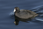 American Coot (Fulica americana) in early January.