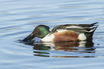 Adult male Northern Shoveler (Spatula clypeata) showing traces of eclipse plumage in early January.