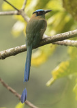 Andean Motmot (Motmotus aequatorialis) in late January. Zamora, Ecuador.