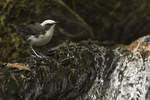 White-capped Dipper (Cinclus leucocephalus) in late January. Old Road from Zamora to Loja, Ecuador.