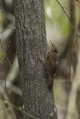 Plain-brown Woodcreeper (Dendrocincla fuliginosa) in early January. Mangalares Churute Ecological Reserve. Guyas, Ecuador.