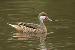 White-cheeked Pintail (Anas bahamensis) in mid-January. Paradise Park. Cuenca, Ecuador.