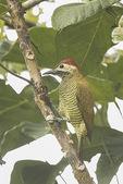 Female Golden-olive Woodpecker (Colaptes rubiginosus) in mid-January. Jiron, Ecuador.